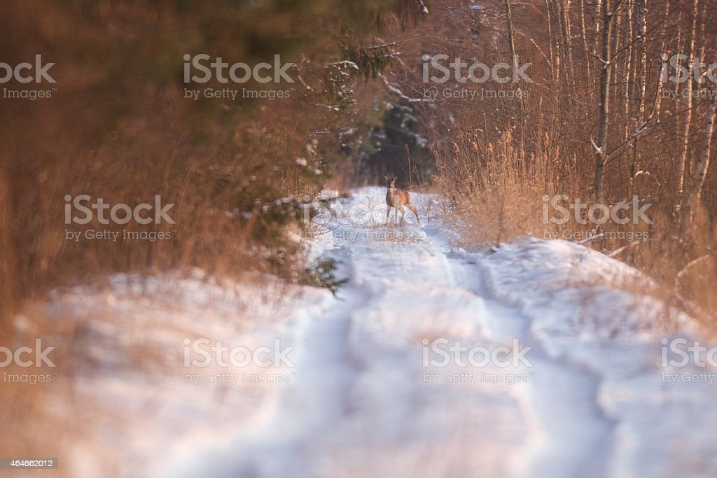 Forest road in winter with roe deer stock photo