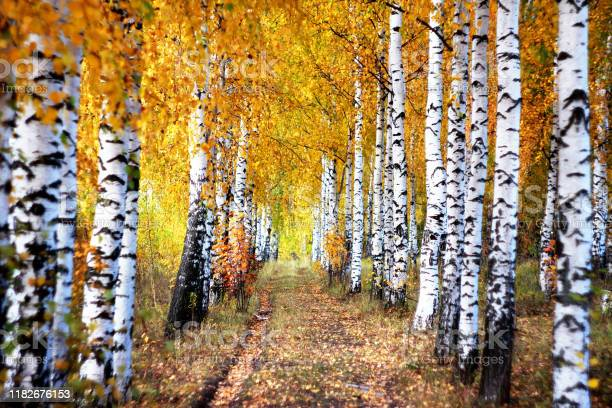 Photo of Forest road path through beautiful golden colored birch tree grove lit by sunlight in sunny autumn day