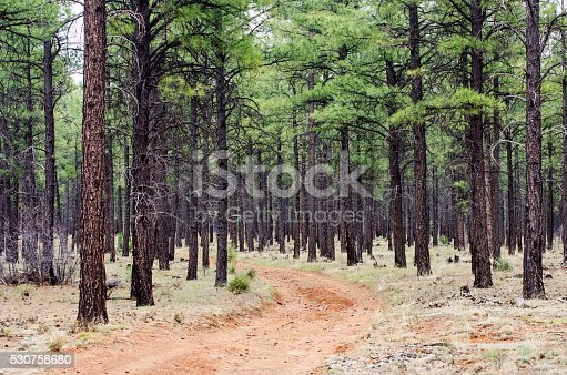 Red dirt road leading through a pine forest.