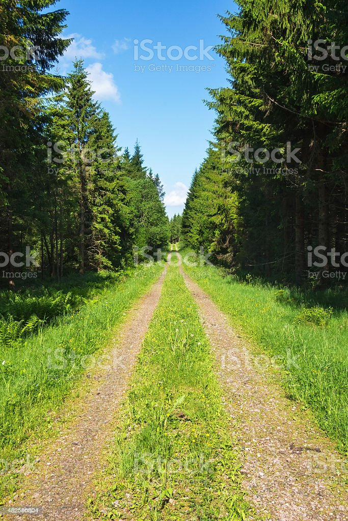 Forest road with spruce trees stock photo