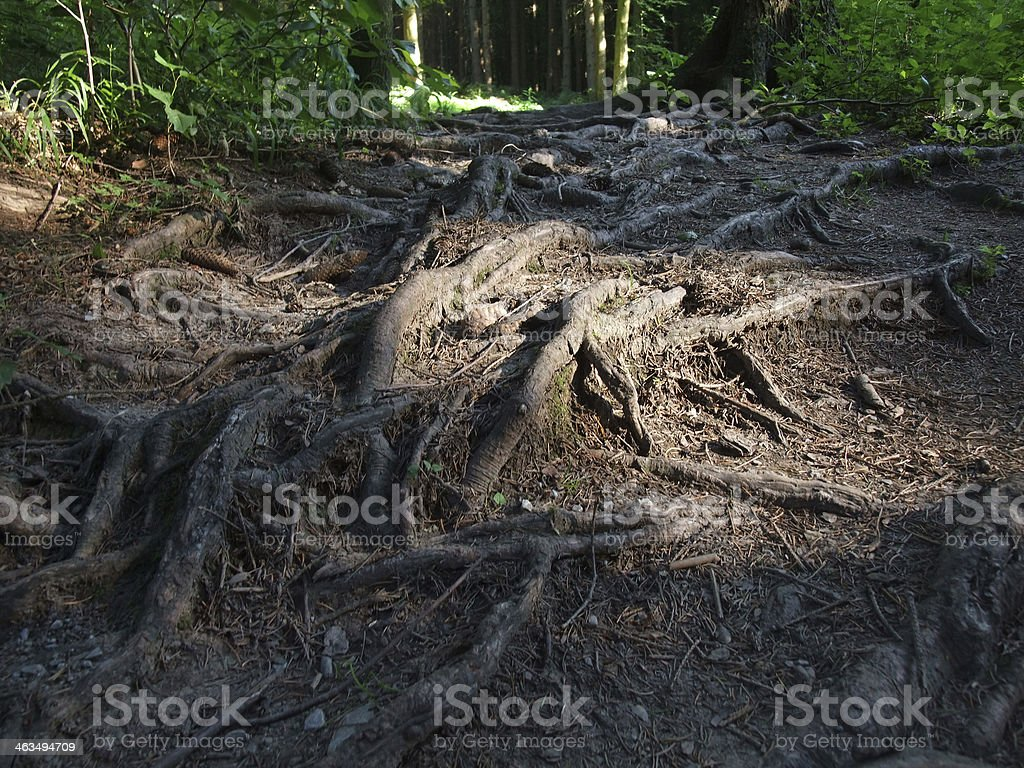 Forest Roots stock photo