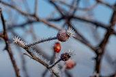 Rose Hip, Rose - Flower, vitamin, winter