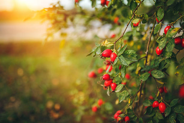 Forest rose hips stock photo