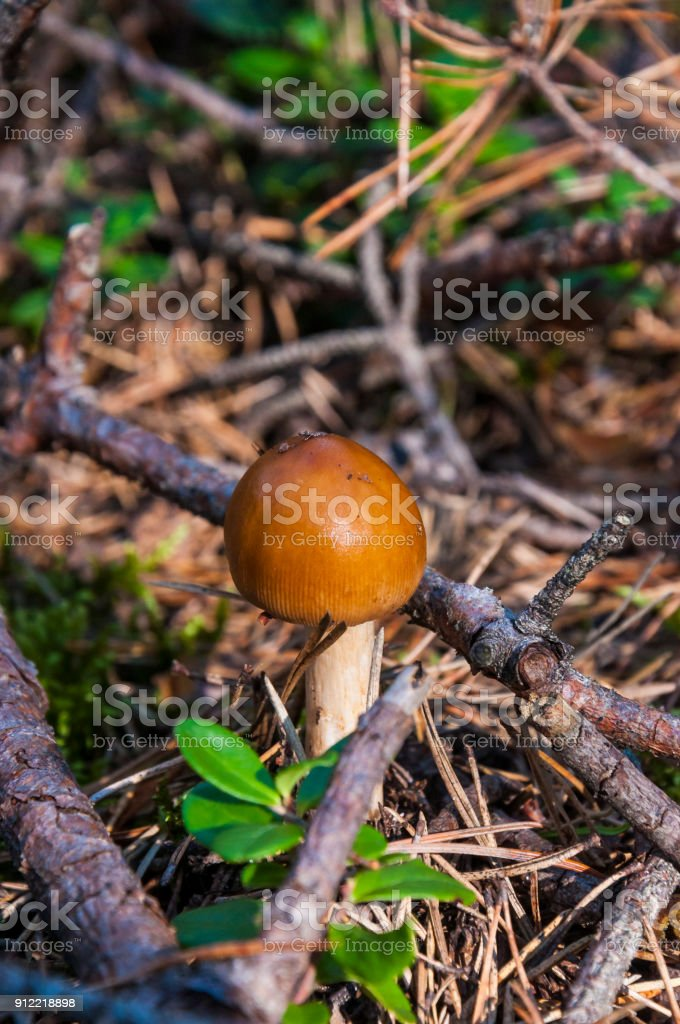 Forest Russula mushroom growing from the moss in the woods stock photo