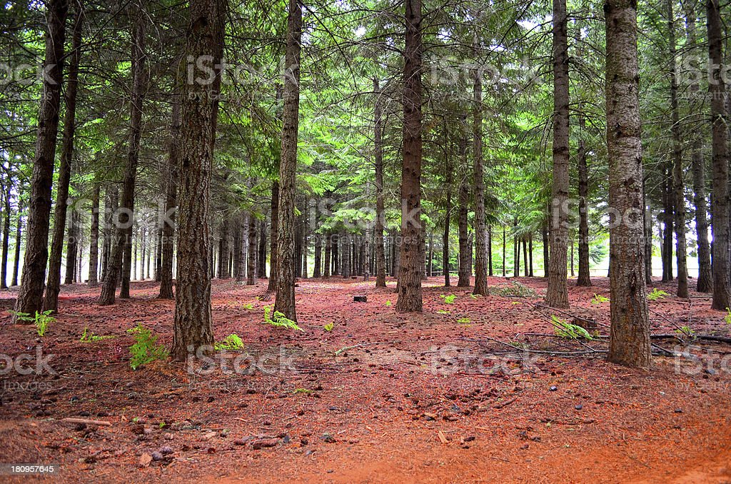 Forest scene royalty-free stock photo