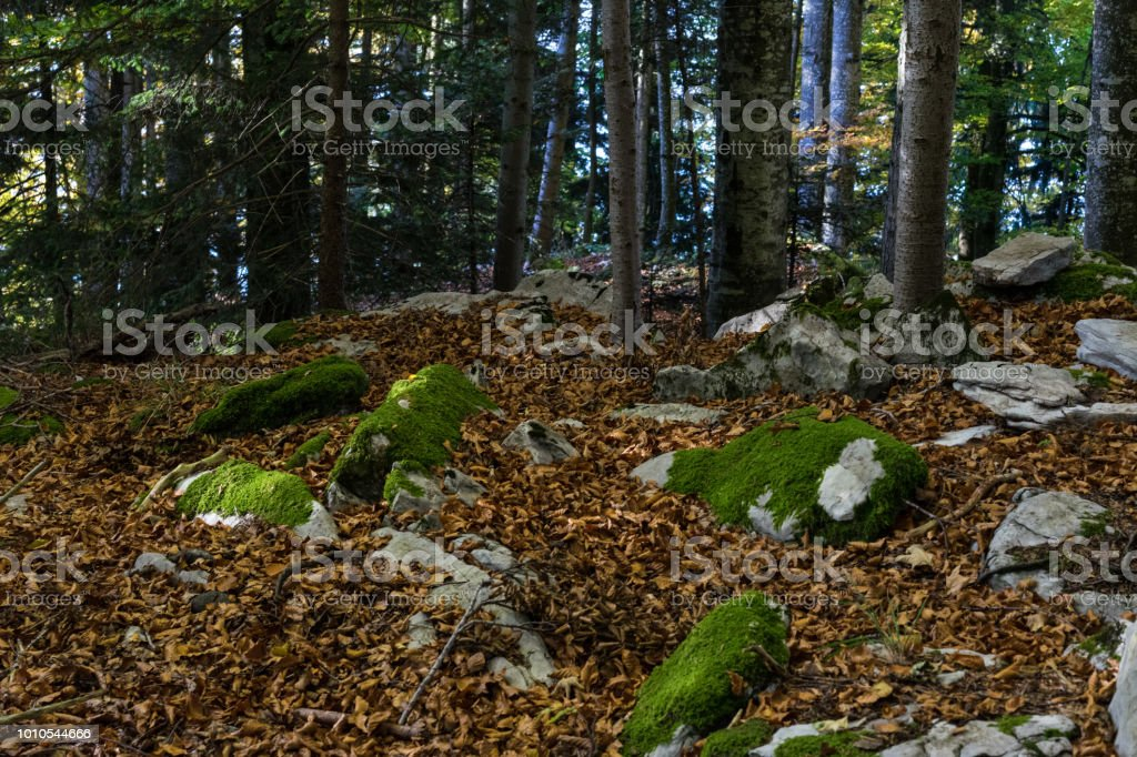 forest scene with moss and stones and brown leave covered ground