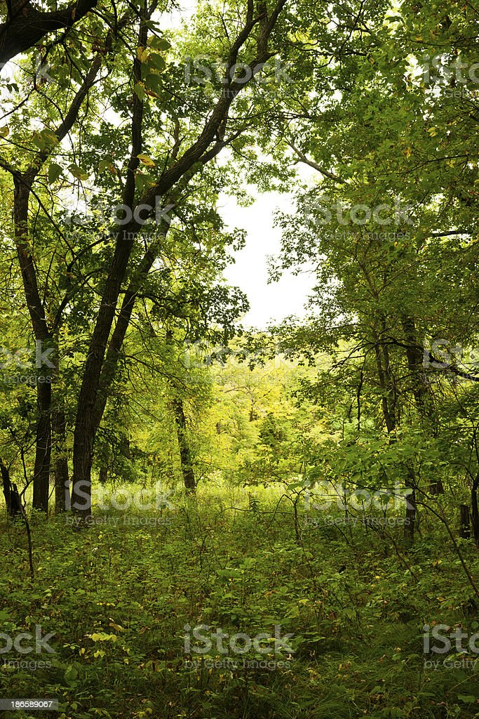 Forest Scenic royalty-free stock photo