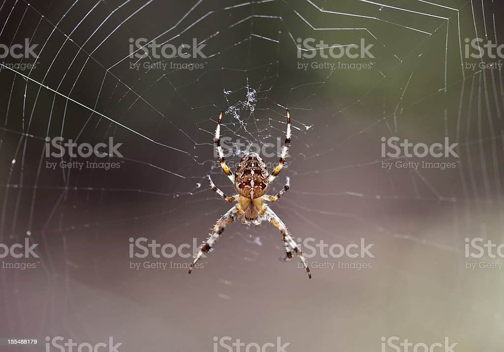 Forest spider on web royalty-free stock photo