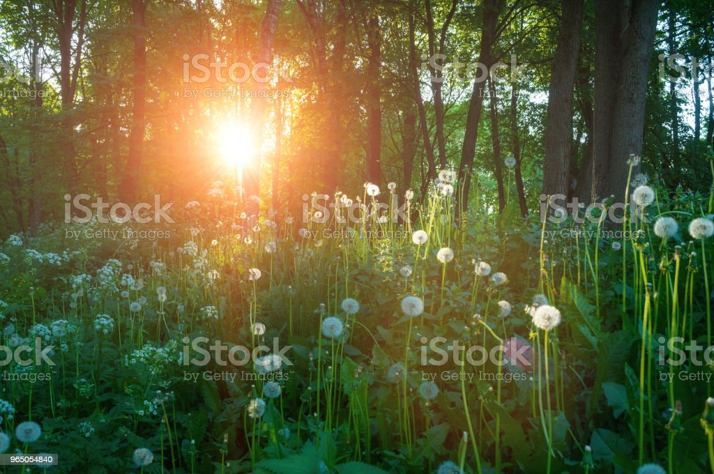Forest spring landscape -trees and fluffy dandelions on the foreground royalty-free stock photo