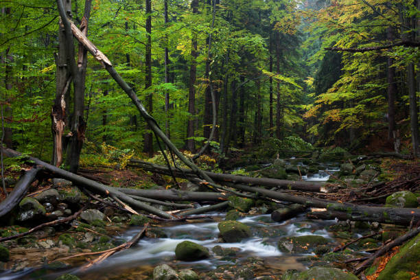 Forest Stream With Fallen Trees Karkonosze Mountains in Poland, stream with fallen trees, mountain forest wilderness in early autumn fallen tree stock pictures, royalty-free photos & images