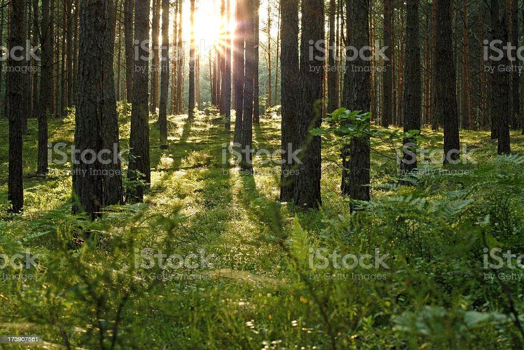 Forest sun stock photo