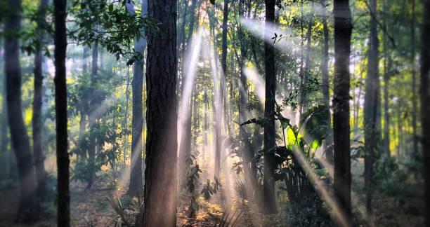 forest sunbeams - industria forestale foto e immagini stock