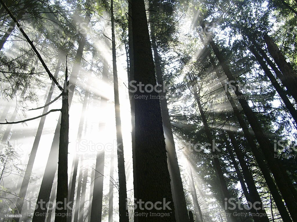 Forest Sunbeams royalty-free stock photo