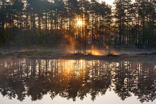 forest sunrise - pine forest sweden bildbanksfoton och bilder