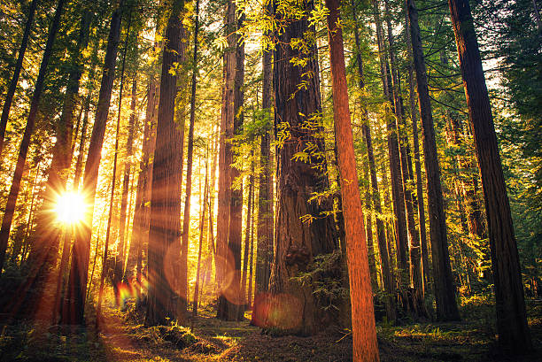 Forest Trail Sunset Forest Trail Sunset. Scenic Sunset Redwood Forest Trail. Summer in the California Redwood, United States. redwood tree stock pictures, royalty-free photos & images