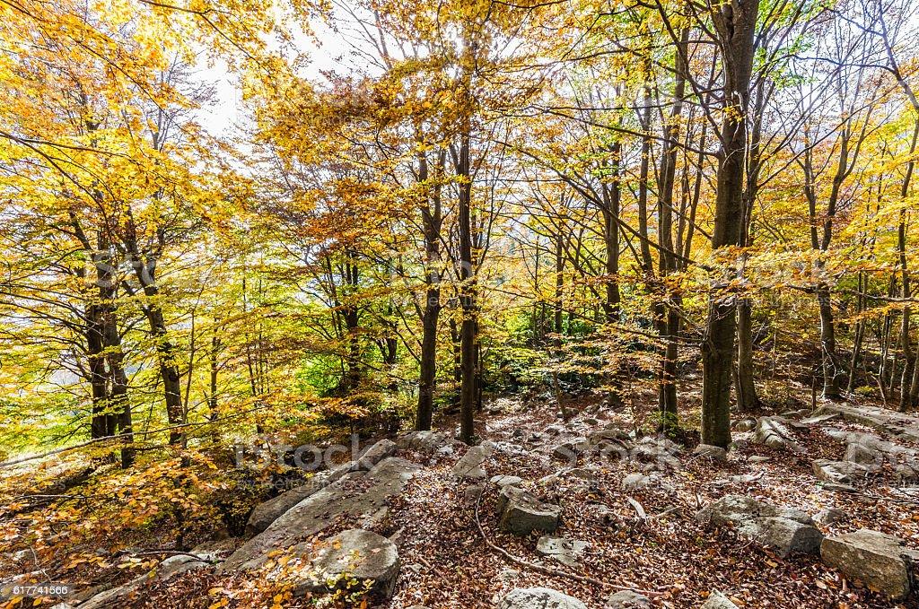 forest tree autumn montseny santa fe sun horizontal wide angle stock photo