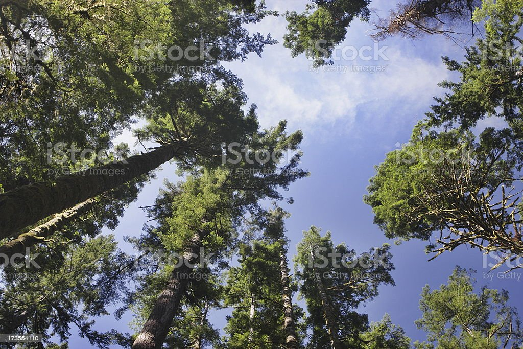 Forest Tree Canopy Wilderness Grove Treetops royalty-free stock photo