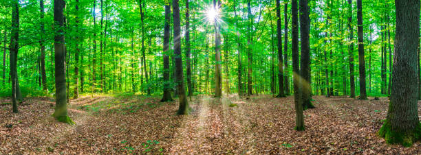 Forest tree panorama with sunbeams stock photo