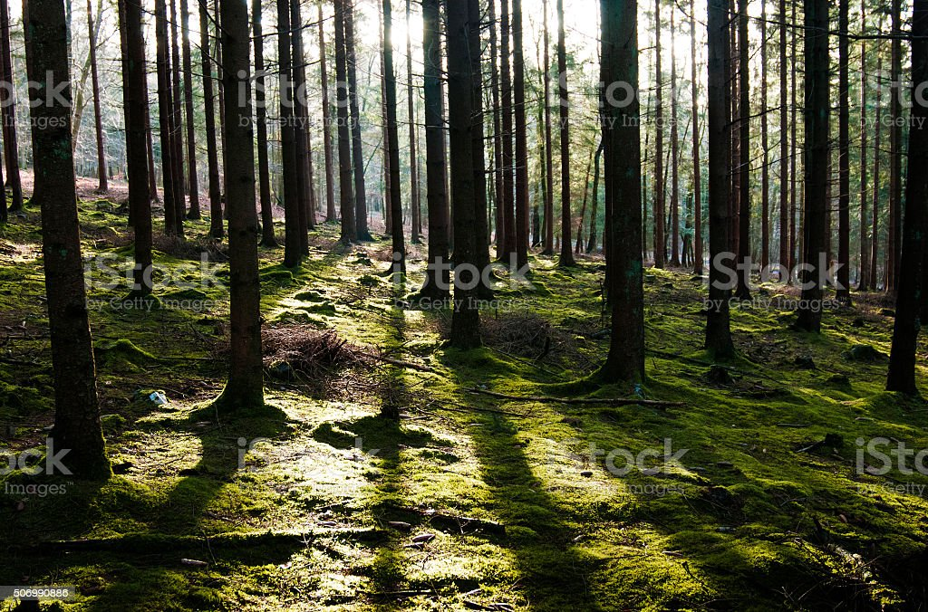 Forest tree silhouettes and long shadows in Ardennes stock photo