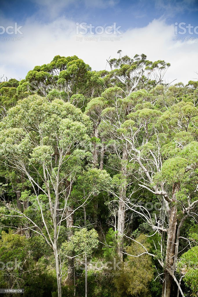 Forest Tree Tops royalty-free stock photo