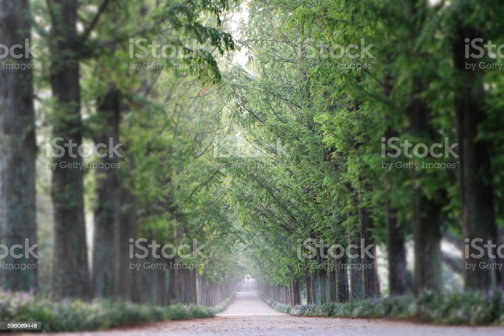 Forest tree-lined walk. royalty-free stock photo