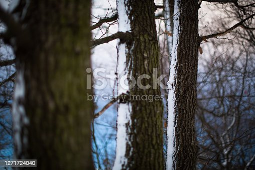istock Forest trees covered with snow 1271724040