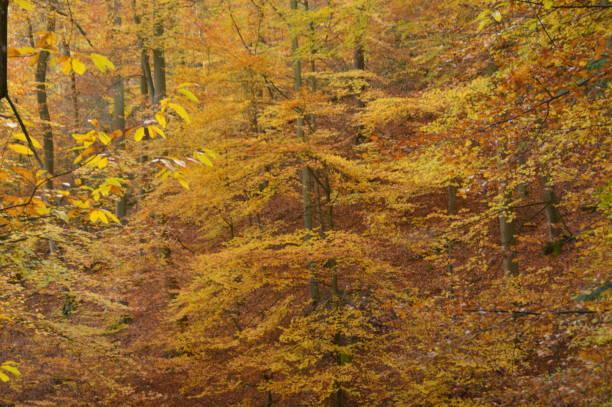 skogsträd under höstsäsongen - bernkastel kues höst bildbanksfoton och bilder