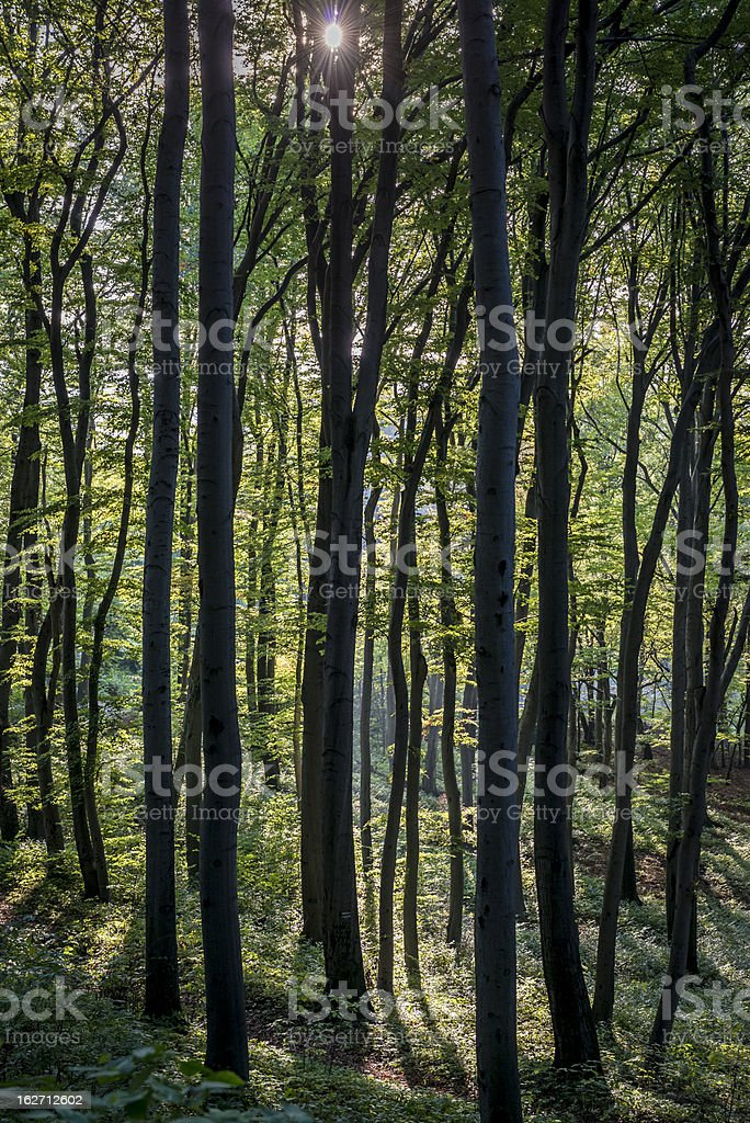 Forest trees. Nature green wood sunlight backgrounds royalty-free stock photo