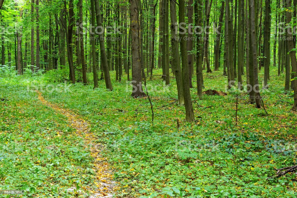 forest trees royalty-free stock photo