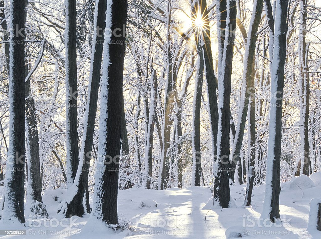 Forest trees with snow on ground and trees stock photo