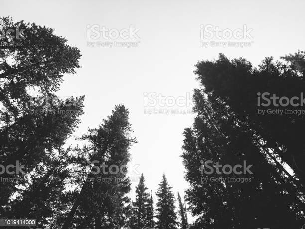 Photo of Forest Treetops Wide Angle Black and White