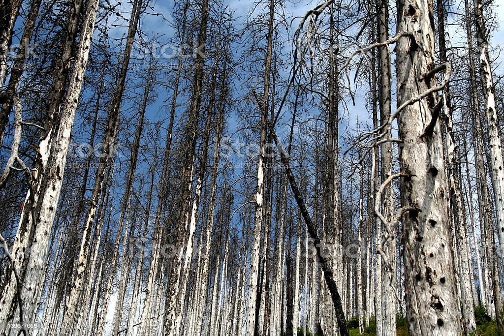 Forest two years after the fire royalty-free stock photo