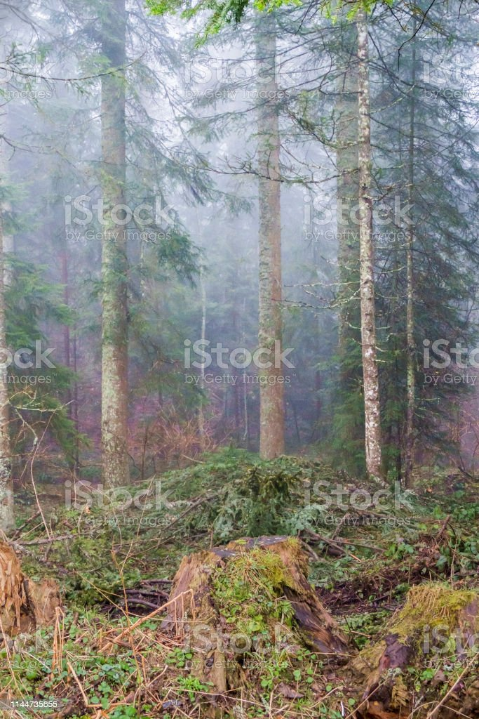 forest under fog, mountains and fog