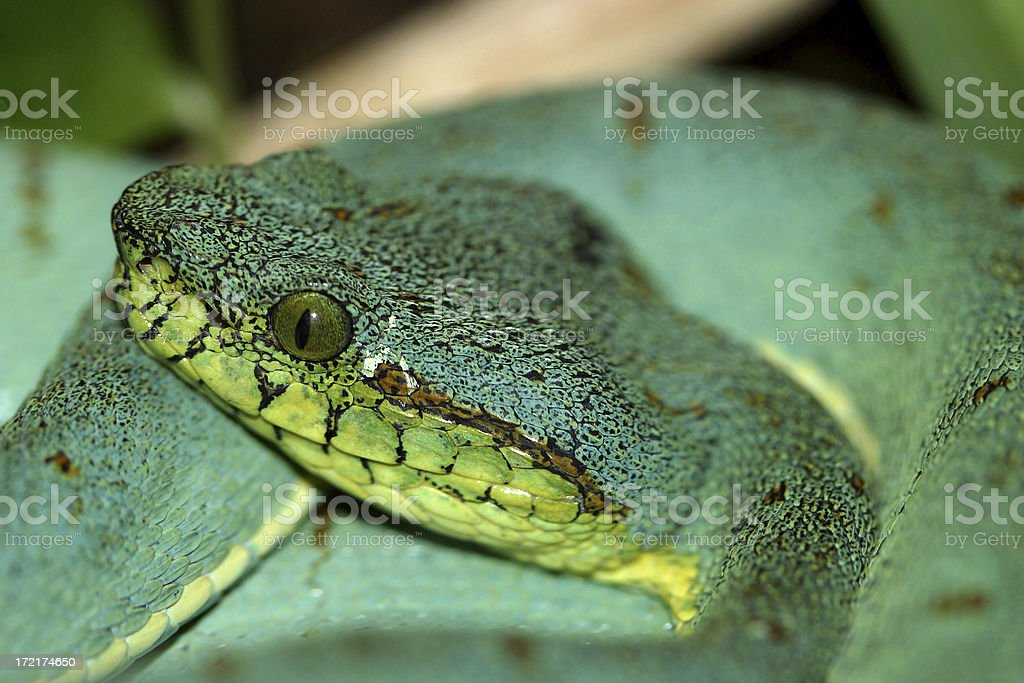 Forest Viper stock photo