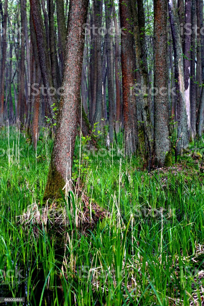 Forest, Wetlands royalty-free stock photo