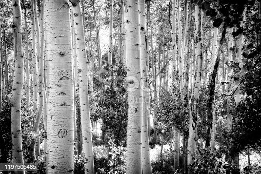 Forest with Aspen trees, Utah USA