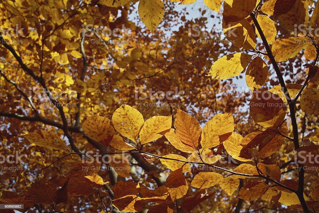 Wald mit Buche Blatt in golden sun light – Foto