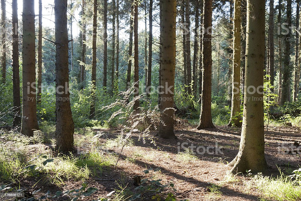 Forest with bright sunlight shining through the trees royalty-free stock photo