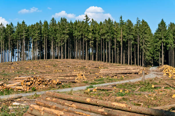 Forest with deforested trees stock photo