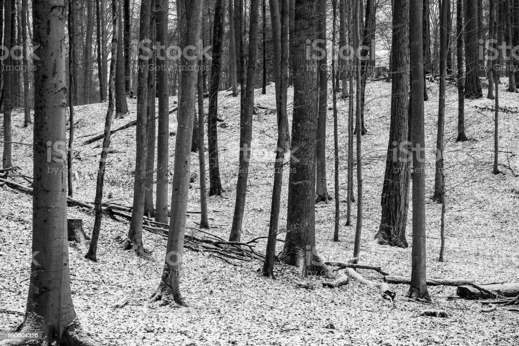 Forest with first snow in black and white stock photo