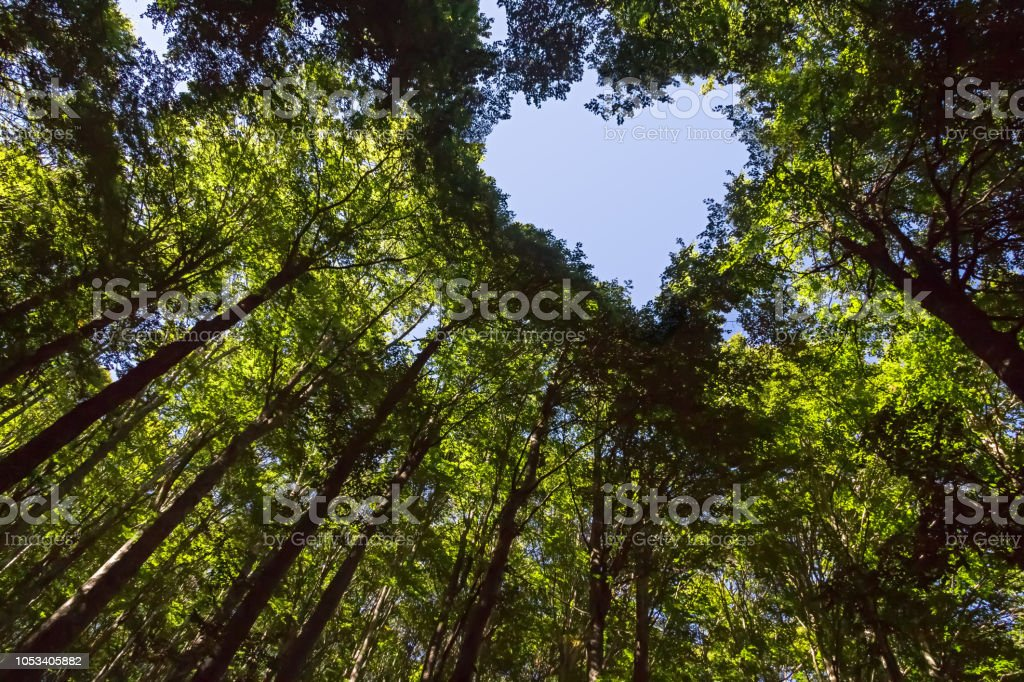 Forest with Heart Shaped Blue Sky The Canopy of this Forest has a Heart Shaped Hole showing Blue Sky Abstract Stock Photo