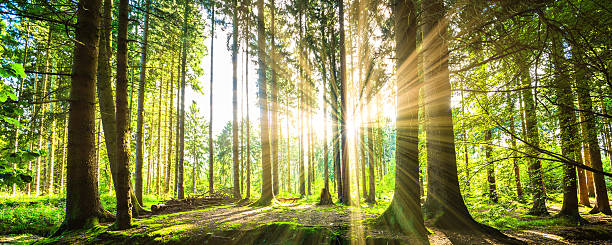Forest with Sun stock photo