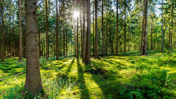 Forest with sun Clearing in the woods in sunshine glade stock pictures, royalty-free photos & images