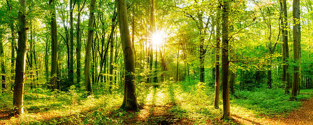 Forest with sun Forest panorama in autumn with sun glade stock pictures, royalty-free photos & images