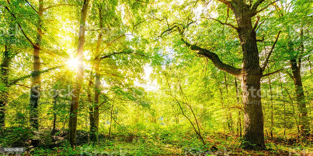 Forest with sunbeams stock photo