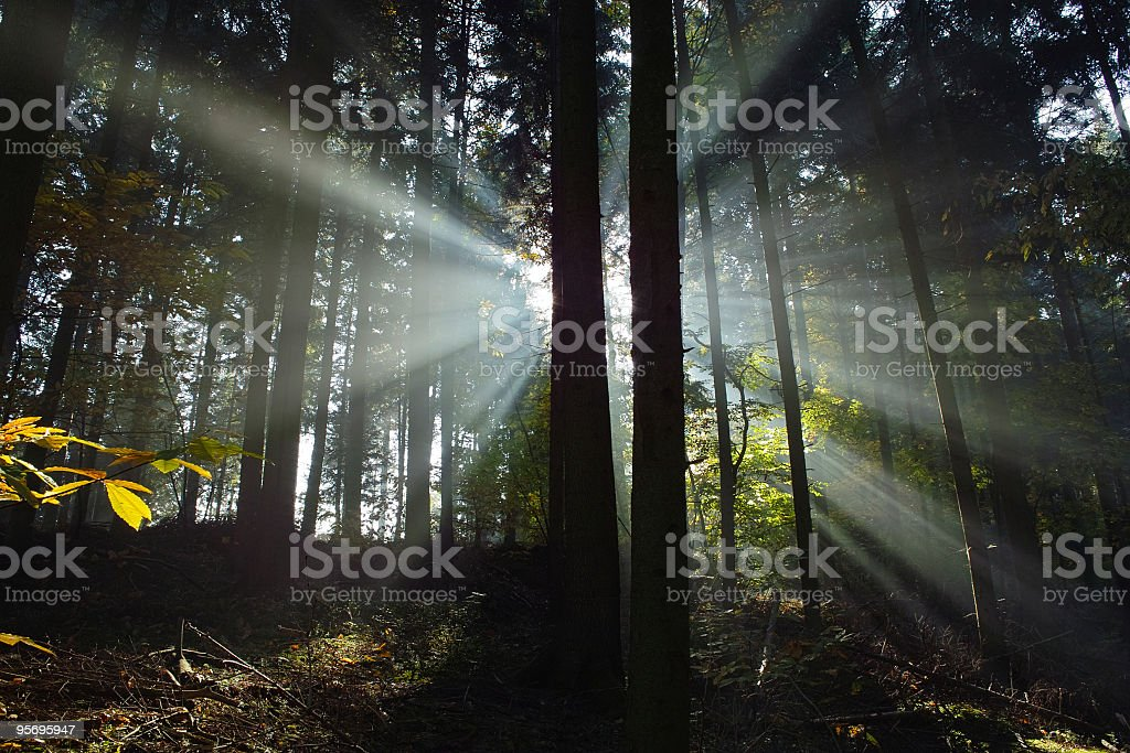 forest with sunbeams royalty-free stock photo