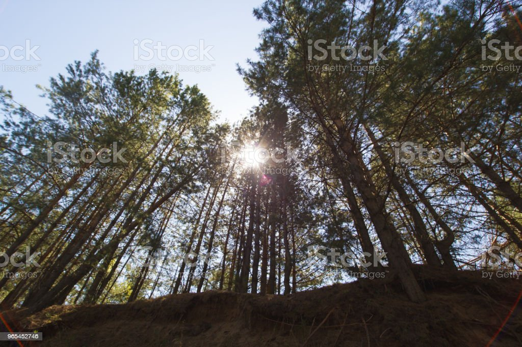 Forest with sunlight passing through the pine trees zbiór zdjęć royalty-free