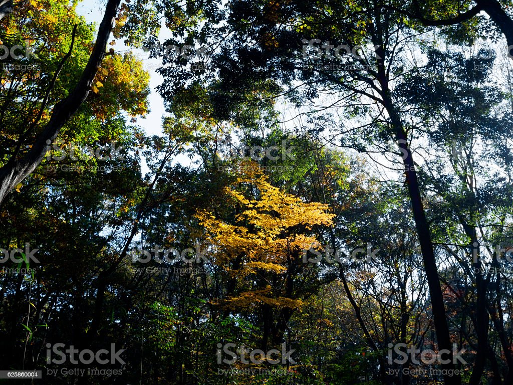 Forest with the turning yellow tree ストックフォト