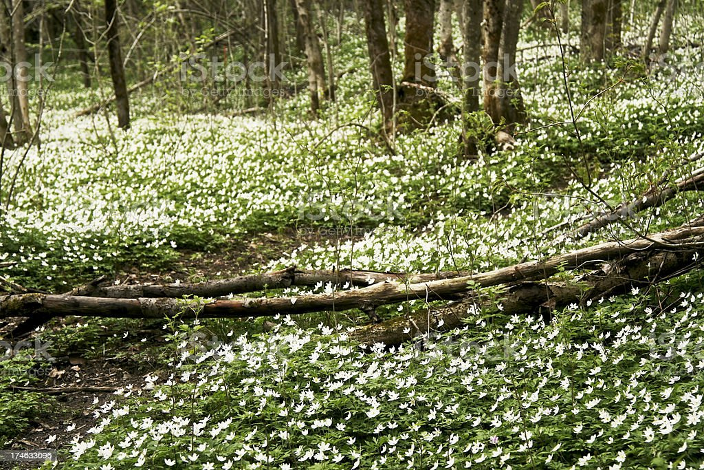 Forest with wood anemones. stock photo