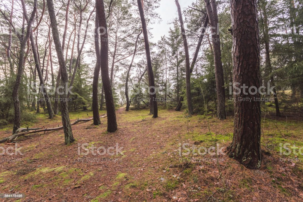 forest without bushes, trunks of trees without branches royalty-free stock photo